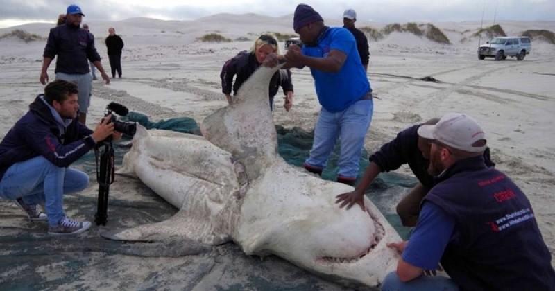 En Afrique du Sud, de grands requins blancs sont retrouvés morts sur les plages, chirurgicalement découpés... Et le mystère reste entier !