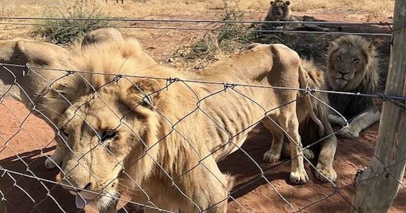 Afrique du Sud : une dizaine de lions élevés pour être abattus ont été sauvés d'une mort certaine