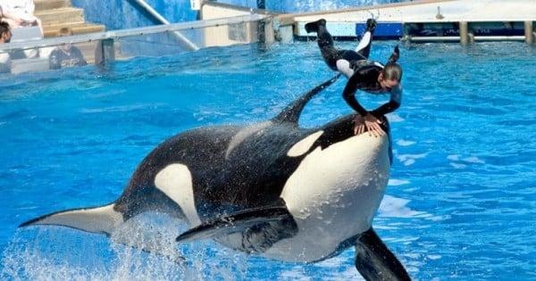 ENFIN : SeaWorld arrête une bonne fois pour toutes l'élevage d'orques en captivité