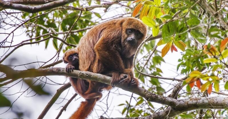 Dans l'État de Rio, 238 singes ont été tués à tort pour lutter contre la fièvre jaune depuis le début de l'année