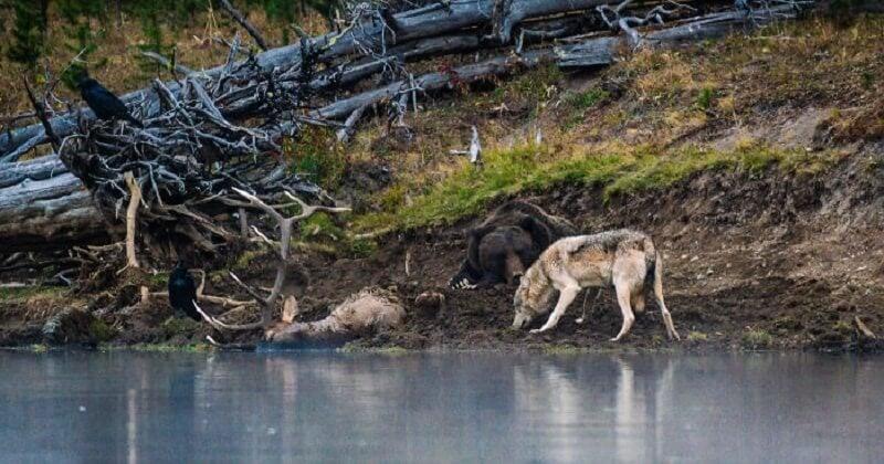 Dans le parc de Yellowstone, aux États-Unis, un photographe a assisté à la rencontre entre un ours et un loup