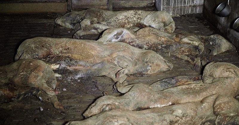 Des « images insoutenables », montrant des porcs en putréfaction dans un élevage à l'abandon, ont été dévoilées par L214