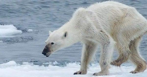 Le Web sous le choc après la publication d'une photo d'un ours polaire terriblement maigre… Choquant !