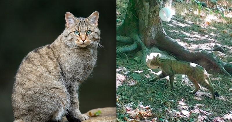 Hérault : une nouvelle espèce de chat sauvage découverte dans le massif du Caroux-Espinouse