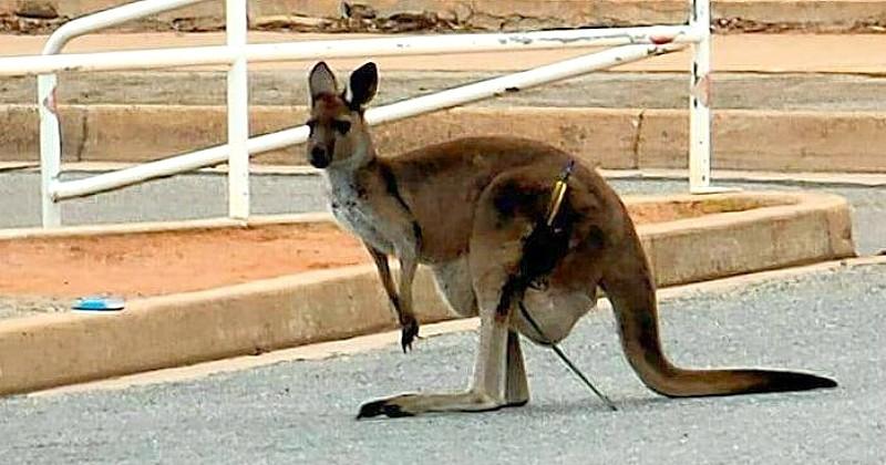 En Australie, deux femelles kangourous portant des bébés ont été visées avec des flèches