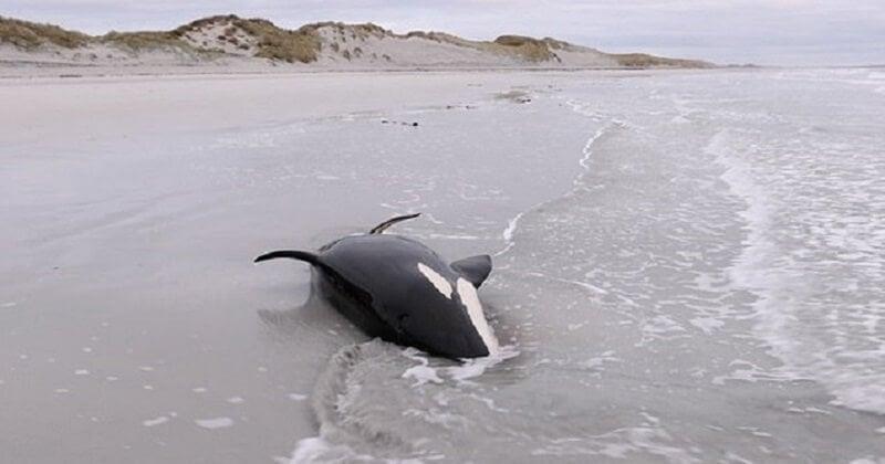 Échouée sur la plage, une orque de trois mètres de long a été sauvée par les habitants d'une île écossaise