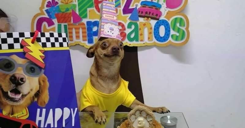 Ce chihuahua est si heureux que ses maîtres se souviennent de son anniversaire