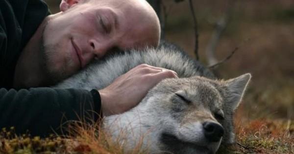 En Norvège, les loups ont trouvé un refuge dans un sanctuaire... et on peut leur faire des câlins, tranquille !