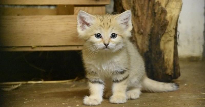 À Lyon, quatre chatons des sables, une espèce peu connue, sont nés au zoo de la Tête d'Or