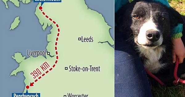 Après 390 kilomètres parcourus en 12 jours de trajet, ce chien de berger a retrouvé ses anciens maîtres, pour leur plus grand bonheur !