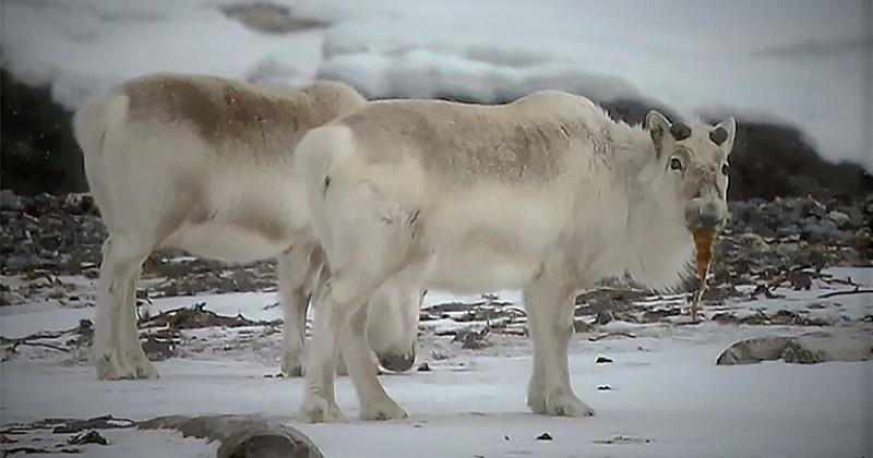 Dans l'Arctique, à cause du réchauffement climatique, les rennes se mettent à manger des algues