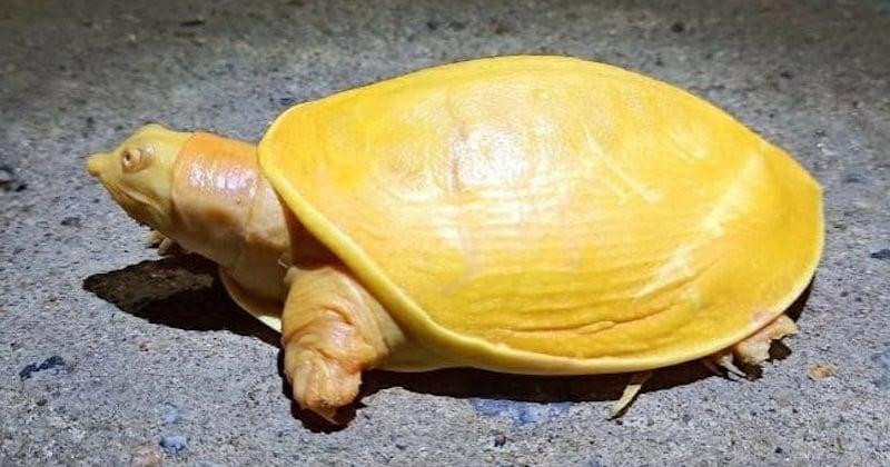 Une tortue jaune aux yeux roses découverte en Inde