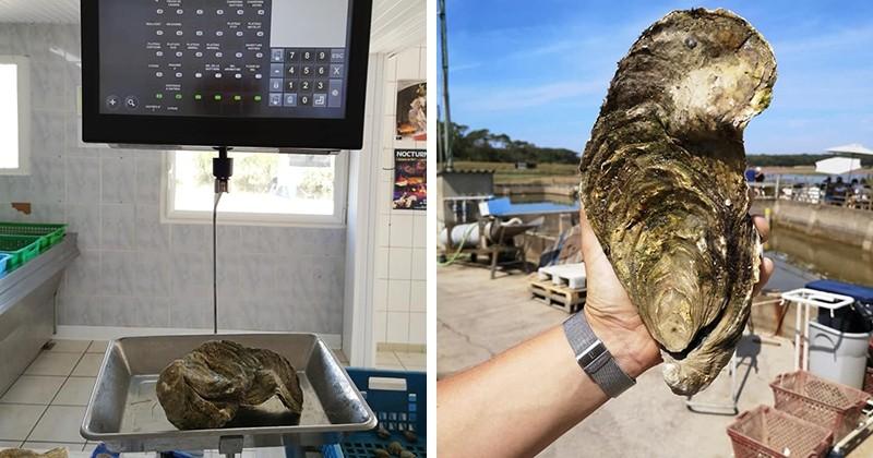En Vendée, des ostréiculteurs ont découvert une huître géante de 1,4 kg et l'ont surnommé «Georgette»