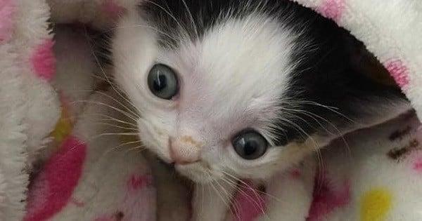 Handicapé de naissance, ce chaton n'attirait personne à l'adoption... Jusqu'à ce qu'une bonne âme traverse les États-Unis pour le récupérer
