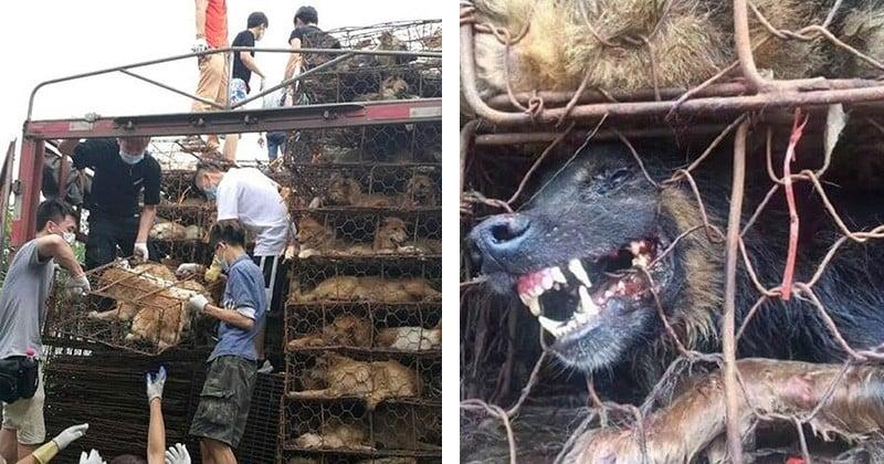 Alors qu'ils étaient en direction d'un abattoir, plus de 1000 chiens et chats enfermés dans un camion ont été libérés par des militants !