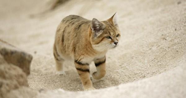 Une espèce rarissime de chat sauvage a été aperçue dans le désert pour la première fois depuis une décennie ! Vous allez fondre en voyant les photos...