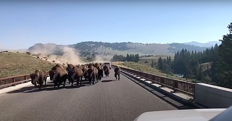En visite dans le parc national de Yellowstone, il voit débarquer sur la route des centaines de bisons au galop
