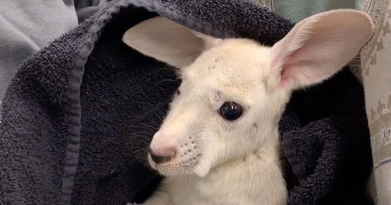 Un kangourou blanc très rare est né dans un zoo de New York