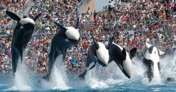 La Californie interdit totalement l'élevage d'orques en captivité... Une première aux États-Unis !