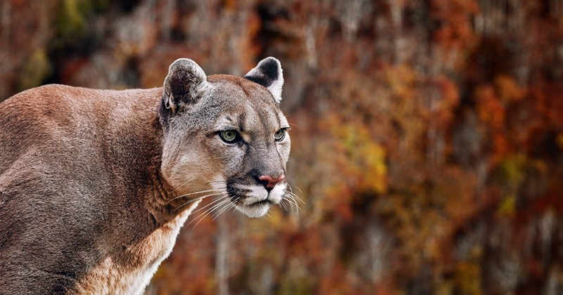 Menacée par un cougar, une canadienne le fait fuir en mettant un morceau de Metallica