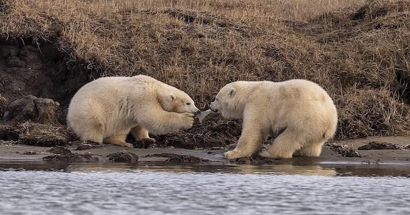 Une série de photos bouleversante montre des oursons polaires affamés jouant avec des morceaux de plastique