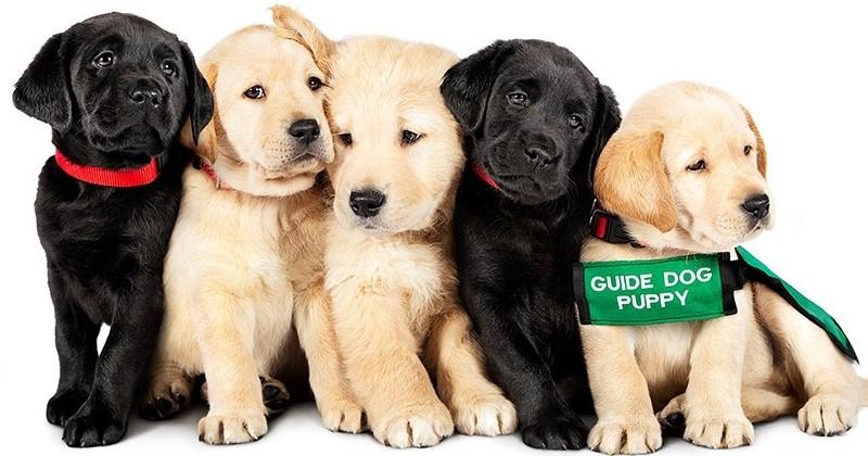 Netflix propose un adorable documentaire sur 5 chiots se préparant à devenir chiens-guides