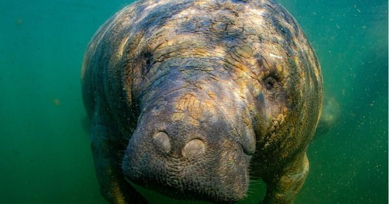 En Floride, un lamantin mutilé avec l'inscription « Trump » sur la peau a été découvert en mer
