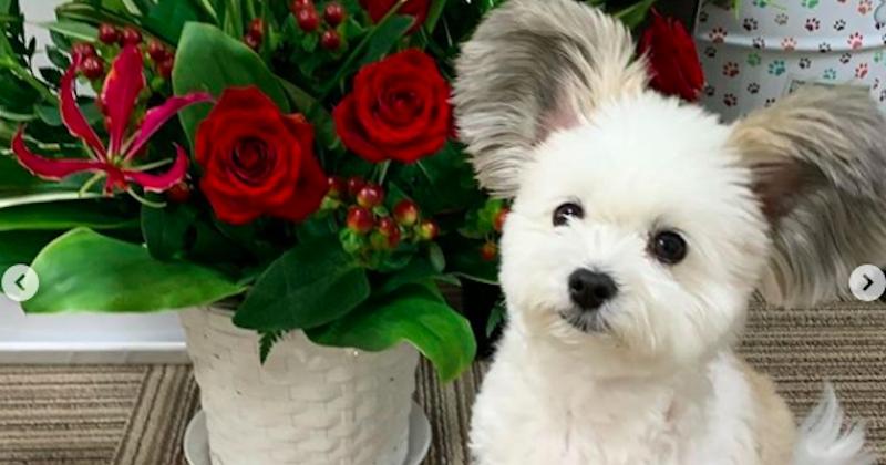 Ce petit chien aux oreilles de Mickey est vraiment trop mignon !