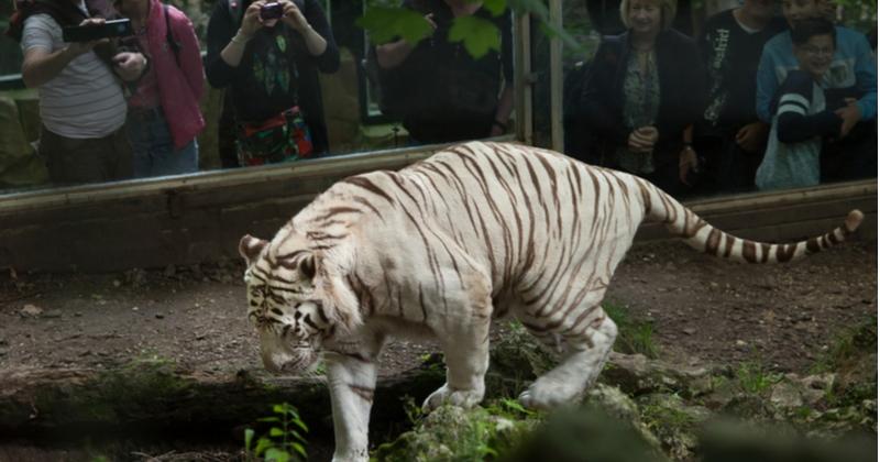 L'emblématique tigre blanc du zoo de Beauval a été euthanasié