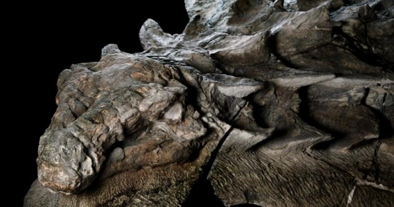 Cette « momie de dinosaure », parfaitement préservée, est probablement la découverte paléontologique du siècle !
