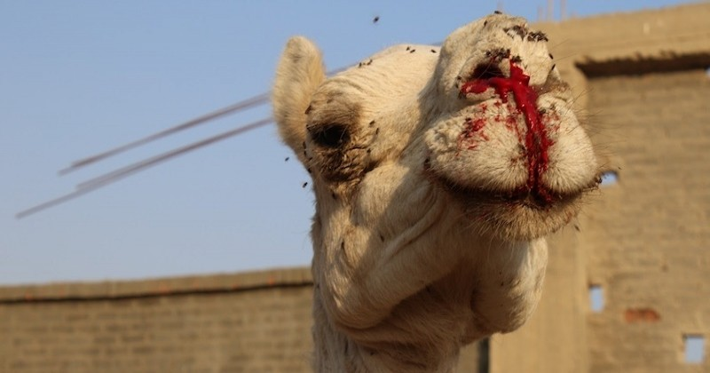 Une association dénonce les traitements infligés aux animaux destinés au tourisme en Égypte