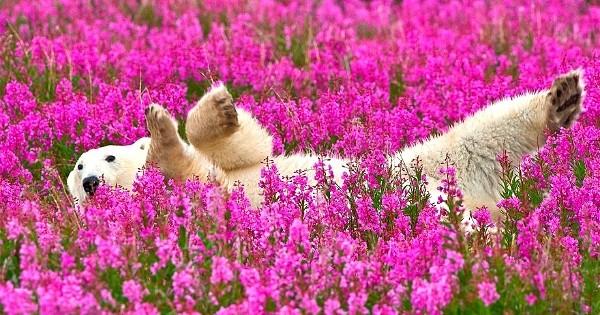 Ces ours polaires en train de jouer dans un champ de fleurs vont égayer votre journée ! Tellement mignon...