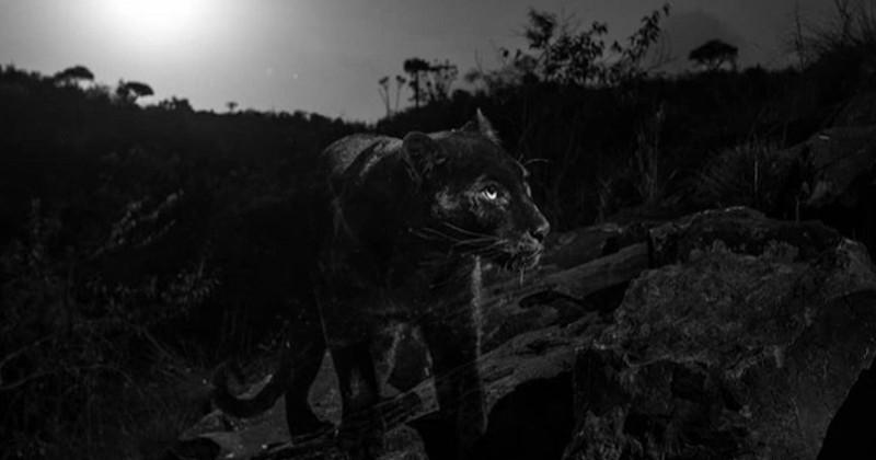 Pour la première fois depuis un siècle, un léopard noir a été photographié en Afrique