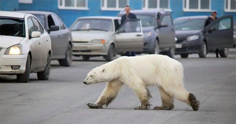 Un ours polaire a été repéré en pleine ville, à plus de 800 km de son habitat en Russie, affamé et exténué