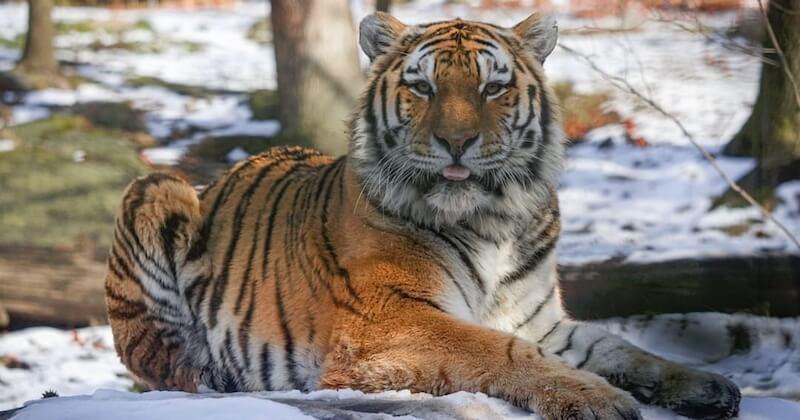 Coronavirus : un tigre du zoo de New York testé positif