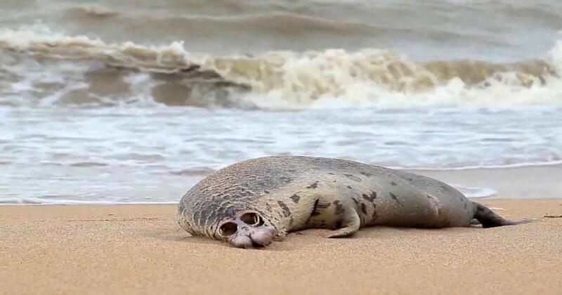 En Russie, près de 300 phoques ont été retrouvés morts au bord de la mer Caspienne