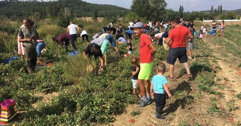 Dans la Drôme, un agriculteur a invité le public à venir ramasser ses tomates pour éviter de les jeter