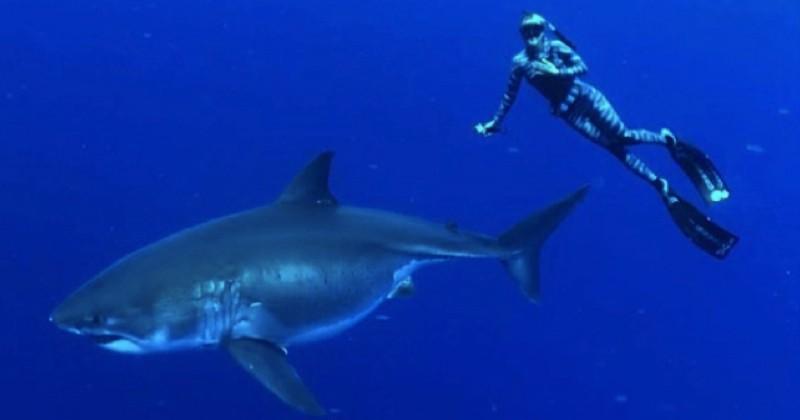 Deux plongeurs nagent à côté du plus grand requin blanc du monde et livrent des images sublimes