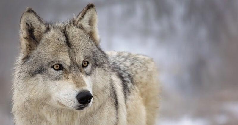 Un parc animalier détruit par la tempête Alex, un loup est mort et 7 autres sont portés disparus