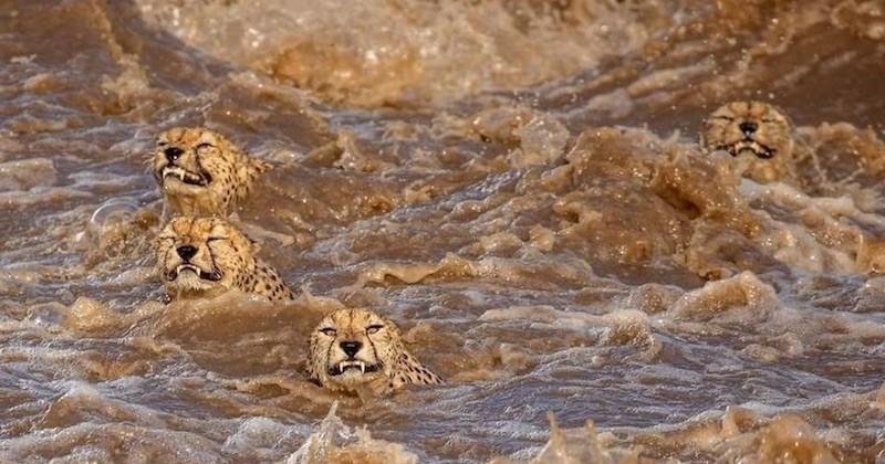 À leurs risques et périls, ces guépards traversent une rivière en crue fréquentée par des crocodiles