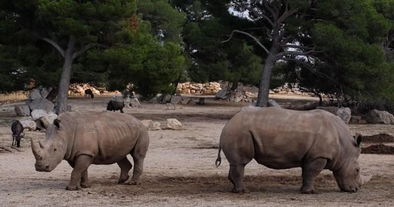 La Chine maintient l'interdiction du commerce de cornes de rhinocéros et d'os de tigre