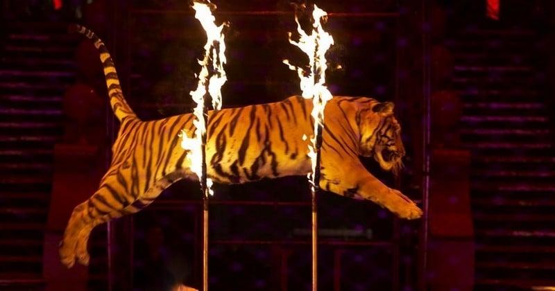 « Contre l'exploitation animale » : le livre-manifeste d'André-Joseph Bouglione pour un cirque 100% sans animaux
