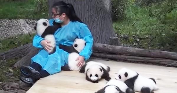 Nous avons trouvé le métier le plus cool du monde : nounou et câlineur de pandas !