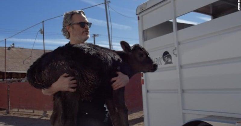 Joaquin Phoenix sauve un veau et sa mère d'une mort certaine dans un abattoir et les amène dans une ferme sanctuaire