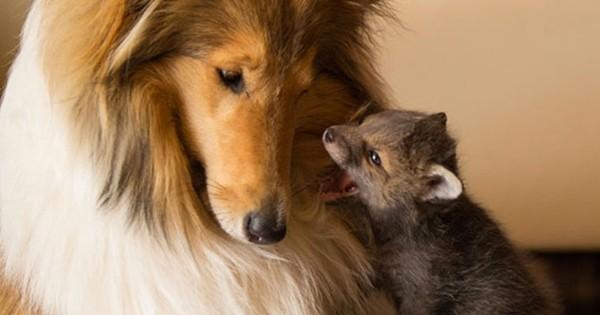 Une chienne s'occupe d'un renard orphelin comme si c'était son propre fils... Émouvant !
