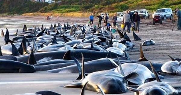 Des centaines de baleines meurent échouées sur les plages de Nouvelle-Zélande... Et personne ne sait précisément pourquoi. Inquiétant !