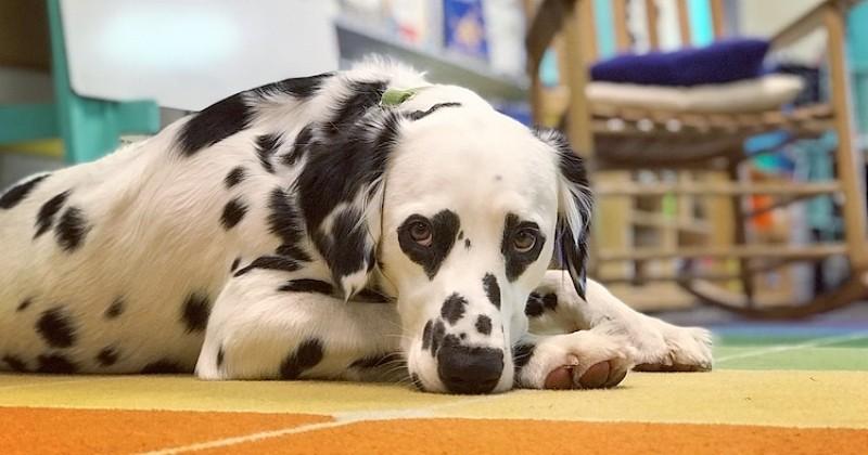Ce dalmatien possède une particularité physique unique : des taches en forme de coeur autour des yeux