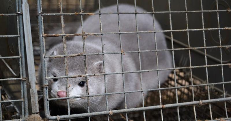 Contaminés par le Covid-19, 1 000 visons d'un élevage d'Eure-et-Loir vont être abattus