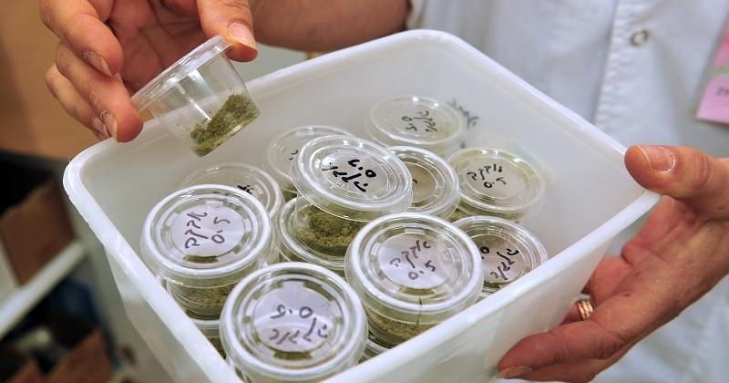 Le cannabis médicinal pourrait être bientôt développé en France pour soulager les douleurs chroniques