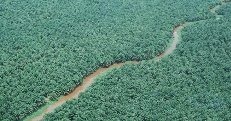 En Afrique, les exploitations d'huile de palme menacent le biodiversité du continent